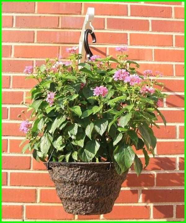 tanaman hias gantung bunga, jenis tanaman hias gantung berbunga, tanaman hias gantung yang bermanfaat, tanaman hias gantung cantik, contoh tanaman hias gantung, foto tanaman hias gantung, gambar tanaman hias gantung