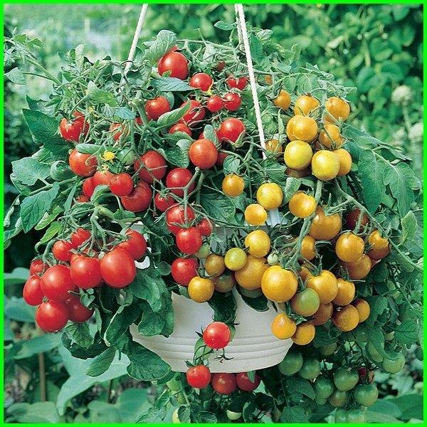 tanaman tomat gantung