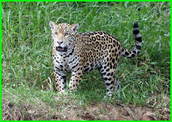 beda jaguar dan leopard, beda jaguar dan macan tutul, beda jaguar dan panther, beda jaguar dengan leopard, beda jaguar dan cheetah, beda jaguar dan puma, beda jaguar dan harimau, beda jaguar dan tiger, beda jaguar sama puma, bedanya jaguar dan macan tutul, perbedaan antara jaguar dan macan tutul