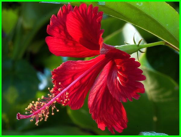 bunga kembang sepatu apa manfaatnya, contoh bunga kembang sepatu, ciri bunga kembang sepatu, bunga kembang sepatu dari negara, bunga kembang sepatu foto, bunga kembang sepatu fungsi, khasiat bunga kembang sepatu, bunga kembang sepatu manfaatnya, apa saja manfaat dari bunga kembang sepatu