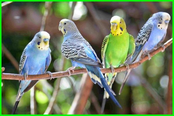 burung bisa bicara, burung pintar bicara, burung bisa bicara lucu, burung bisa bicara manusia, burung bisa bicara seperti manusia, supaya burung beo cepat bicara, burung dapat bicara