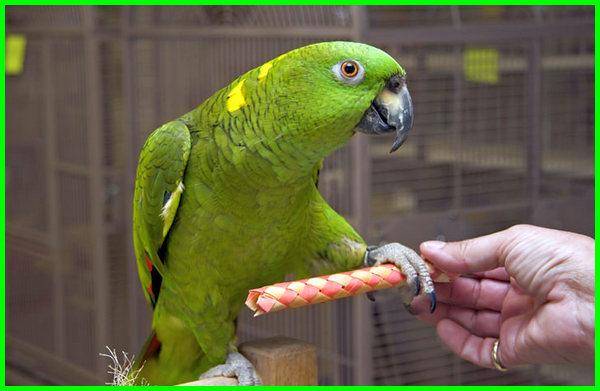 burung yang bisa bicara, burung yang bisa bicara di indonesia, burung yang pandai bicara, burung yang pintar bicara, burung yang dapat bicara, burung yang bisa bicara tts, burung yang bisa bicara selain beo, burung yang suka bicara, jenis burung yang bicara