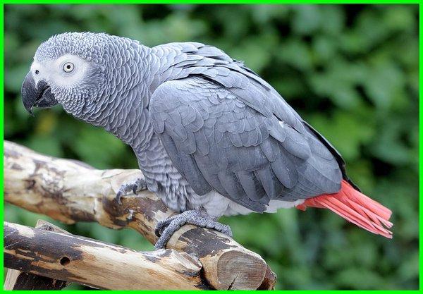 jenis burung yang dapat bicara, burung bisa bicara di indonesia, burung dapat bicara, foto burung yang bisa bicara, jenis burung yang pandai bicara, jenis burung yang bisa dilatih bicara, burung pintar bicara, burung pandai bicara, burung bisa bicara seperti manusia