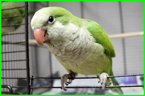 jenis burung yang bisa bicara, jenis burung yang dapat bicara, burung bisa bicara di indonesia, burung dapat bicara, foto burung yang bisa bicara, jenis burung yang pandai bicara, jenis burung yang bisa dilatih bicara