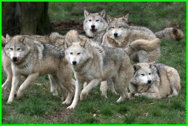 aktivitas hewan serigala, sifat hewan serigala, deskripsi hewan serigala, artikel hewan serigala, hewan yang ditakuti serigala, serigala hewan yang setia, serigala hewan paling setia, filosofi hewan serigala, klasifikasi hewan serigala, makna hewan serigala