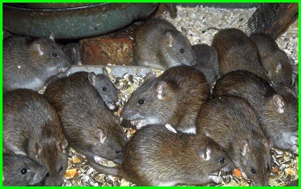 fakta tikus rumah, fakta tikus putih, fakta tikus sawah, fakta tentang tikus, fakta unik tikus, fakta shio tikus, fakta tentang tikus got, fakta tikus got, fakta tentang keladi tikus, fakta tentang shio tikus, apa fakta tentang tikus