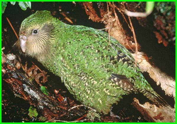 kenapa burung kakapo tidak bisa terbang, harga burung kakapo, jual burung kakapo, burung nuri kakapo, burung beo kakapo, suara burung kakapo, gambar burung kakapo
