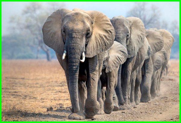 hewan yang diburu untuk diambil gadingnya adalah, hewan yang diburu untuk diambil gadingnya, hewan yang diburu gadingnya adalah hewan, hewan yang diburu karena ingin diambil gadingnya, hewan yg diburu untuk diambil gadingnya adalah, hewan yang banyak diburu