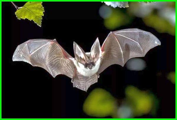 hewan mamalia terbang, mamalia yang terbang, mamalia bisa terbang, contoh mamalia terbang, mamalia dapat terbang mamalia yg bisa terbang adalah