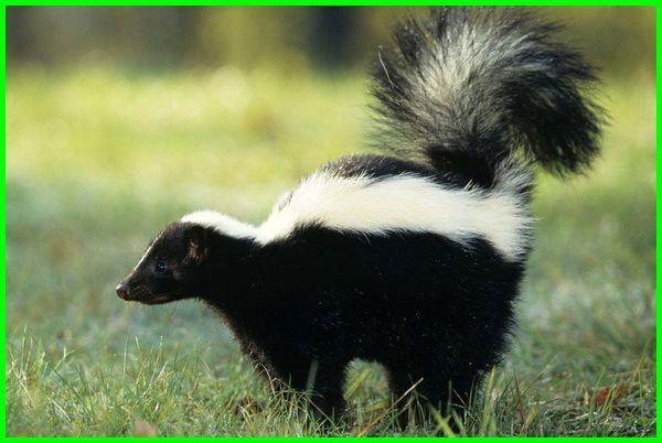 hewan paling bau depannya s, hewan yang sangat bau, hewan bau seperti musang, sebutkan hewan yang bau, hewan semacam musang yang bau, hewan sejenis musang yang bau, hewan yg bau