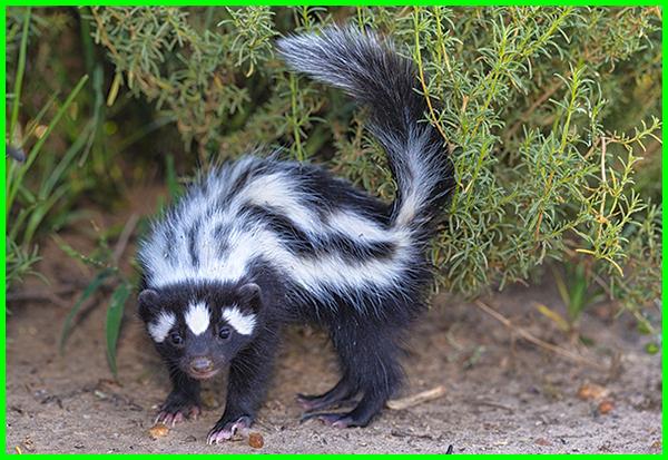 hewan yang bau cuka, hewan yang bau pandan, hewan yang bau amis, hewan yang bau kecut, hewan yang bau badannya, hewan yang bau lumpur, hewan yang bau busuk
