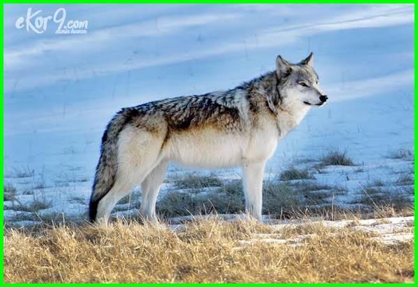 deskripsi hewan serigala, hewan serigala berasal dari, serigala hewan yang setia, serigala hewan paling setia, filosofi hewan serigala, klasifikasi hewan serigala, deskripsi hewan serigala dalam bahasa inggris, makna hewan serigala, aktivitas hewan serigala, sifat hewan serigala