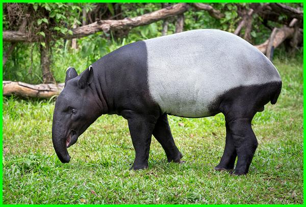 hewan tapir berasal dari, hewan mirip tapir, manfaat hewan tapir, penjelasan hewan tapir, hewan sejenis tapir, sifat hewan tapir, tapir termasuk hewan apa
