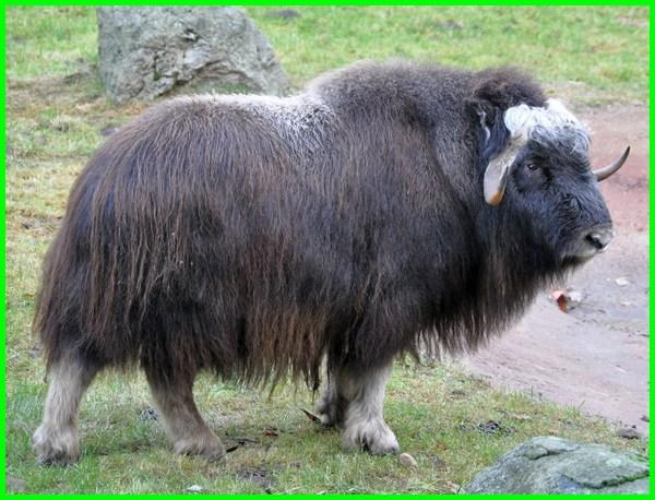 hewan yang bau badannya, hewan yang bau kentut, hewan apa yang bau, hewan bau busuk, hewan berbadan bau, hewan yang memiliki kentut bau, hewan kelenjar bau, hewan bau menyengat