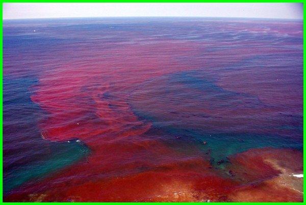 jenis alga dengan pigmennya yang tepat, jenis alga dan pigmennya, jenis alga merah, jenis alga dan gambarnya, jenis alga yang hidup di, jenis jenis alga, jenis jenis alga merah