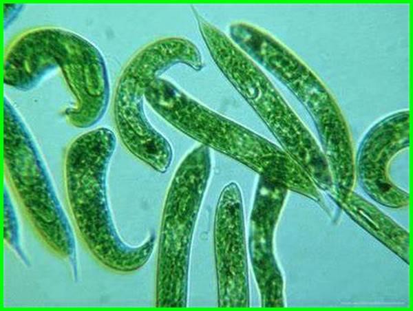 jenis alga dengan pigmennya, jenis alga dengan pigmennya yang tepat, jenis alga dan pigmennya, jenis alga hijau, jenis alga apa saja, jenis alga berdasarkan pigmennya, jenis alga berdasarkan warna, jenis alga beserta ciri, jenis alga dan contohnya
