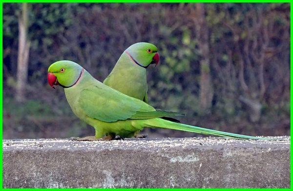 burung yang bisa bicara selain beo, burung yang suka bicara, jenis burung yang bicara, foto burung yang bisa bicara, jenis burung yang pandai bicara, jenis burung yang bisa dilatih bicara