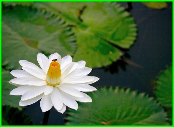 tumbuhan makanan ikan bawal, tumbuhan air makanan ikan, tumbuhan untuk makanan ikan nila, jenis tumbuhan makanan ikan nila, ikan makan tumbuhan, ikan yang makan tumbuhan