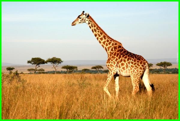 fakta hewan jerapah, fungsi hewan jerapah, karakteristik hewan jerapah, karakter hewan jerapah, keunikan hewan jerapah, keterangan hewan jerapah, kelebihan hewan jerapah, hewan mamalia jerapah, hewan yang mirip jerapah, jerapah termasuk hewan herbivora, jerapah termasuk hewan pemakan apa, filosofi hewan jerapah