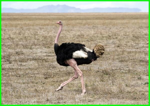 burung terbesar, burung paling bahaya, burung yang berbahaya di dunia, burung unta
