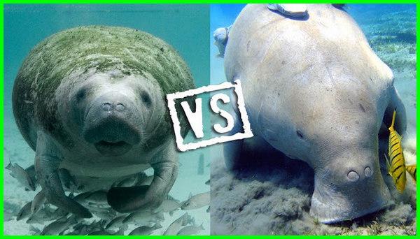 dugong adalah, dugong berkembang biak dengan cara brainly, dugong itu apa, dugong artinya, dugong laut, dugong termasuk hewan ovipar vivipar atau ovovivipar, dugong dugong, dugong lucu, dugong apa, dugong asli, dugong berkembang biak dengan cara