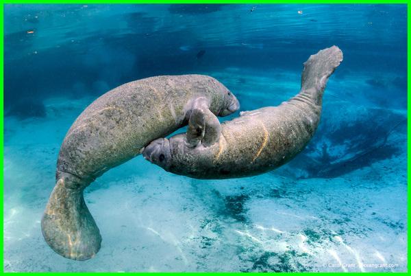 manatees, manatee adalah, manatees adalah, manatee wiki, manatee indonesia, manatee animal, a manatees habitat