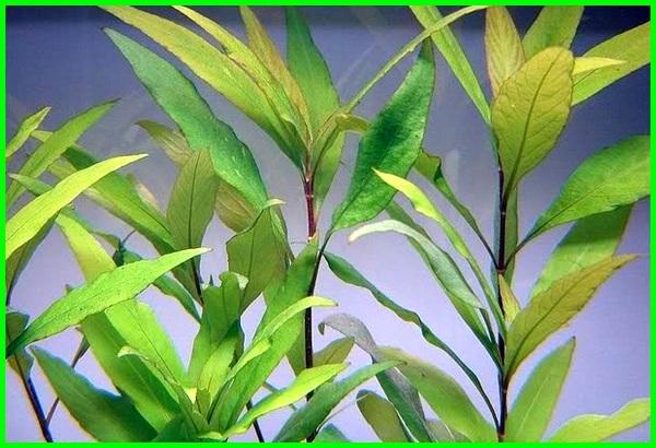 tanaman makanan ikan, tanaman makanan ikan hias, tanaman makanan ikan nila, tanaman air pakan ikan, tanaman air makanan ikan, tanaman untuk makanan ikan nila