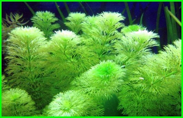 tanaman makanan ikan hias, makanan ikan dari tumbuhan, makanan ikan lele dari tumbuhan, pakan tambahan untuk ikan mas, tumbuhan untuk pakan ikan nila, tanaman untuk makanan ikan nila, tumbuhan makanan ikan nila, tumbuhan makanan ikan gurame, tumbuhan pakan ikan, tanaman makanan ikan, tumbuhan pakan ikan nila