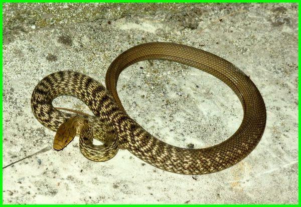 ular bau busuk, apakah ular bau, hewan yang bau badannya, hewan yang bau busuk, hewan berekor bau, hewan bau cuka, hewan kelenjar bau, hewan bau menyengat