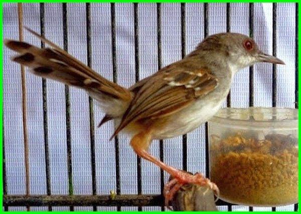 burung peliharaan murah meriah, jenis burung peliharaan murah, burung peliharaan yg murah, burung peliharaan paling murah, pelihara burung murah