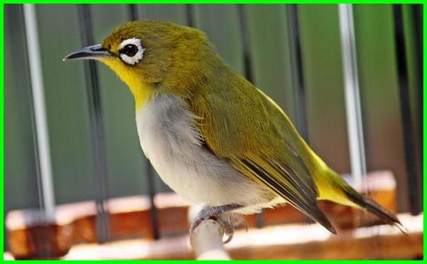 burung peliharaan kecil, burung peliharaan murah tapi bagus, burung peliharaan murah meriah, burung peliharaan yang murah, harga burung peliharaan murah, jenis burung peliharaan murah