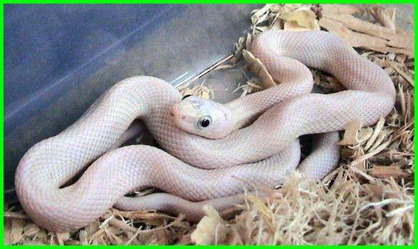 jenis ular peliharaan yang bagus