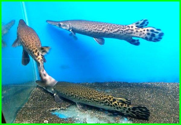 ikan aligator gar, ikan aligator hias, ikan hias aligator gar, ikan hias aligator spatula, jenis ikan aligator hias, ikan aligator makannya apa, ikan aligator makanan, nama ikan aligator, ikan aligator peliharaan, ikan aligator pemakan, daftar harga ikan aligator