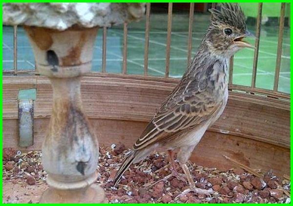 burung peliharaan yg murah, burung peliharaan paling murah, pelihara burung murah, harga burung peliharaan yang murah, burung peliharaan harga murah