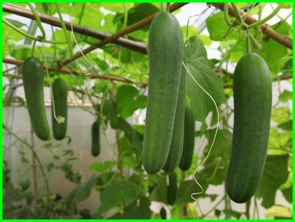 tanaman sayuran mentimun