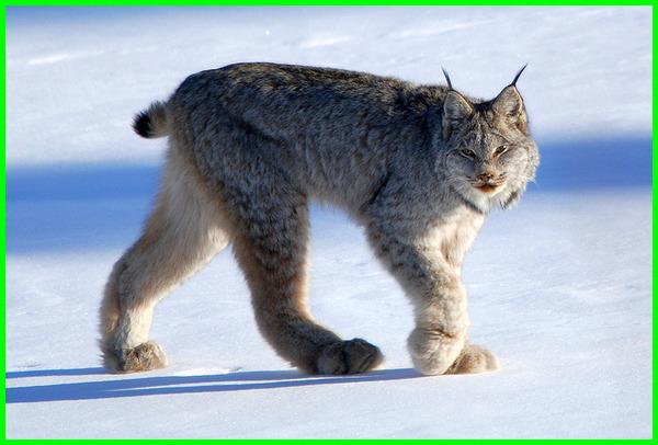 kucing anggora amerika, kucing asal amerika, kucing besar amerika, kucing benua amerika, jenis kucing besar amerika, kucing dari amerika, kucing di amerika, nama kucing di amerika, kucing liar di amerika