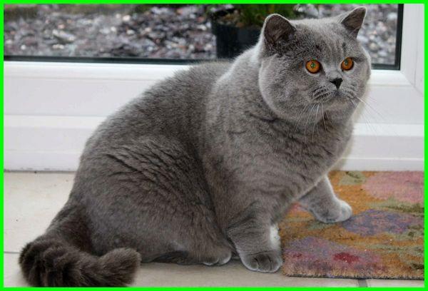 fakta kucing british shorthair, foto kucing british, kucing british harga, kucing british jual, karakter kucing british shorthair, kelebihan kucing british shorthair, karakteristik kucing british shorthair, jenis kucing british longhair, makanan kucing british longhair