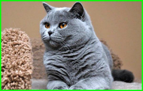 Kucing British Shorthair Karakteristis Dan Fakta Menarik Dunia Fauna Hewan Binatang Tumbuhan Dunia Fauna Hewan Binatang Tumbuhan