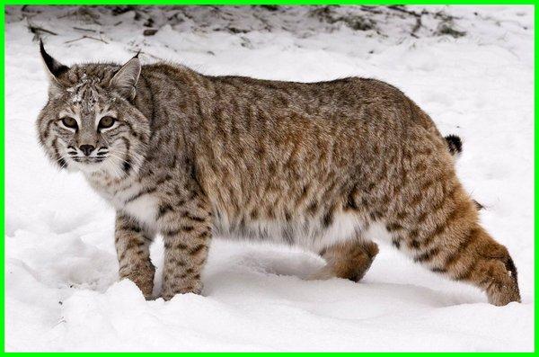 kucing liar amerika, kucing liar di amerika utara, Bobcat (Lynx rufus)