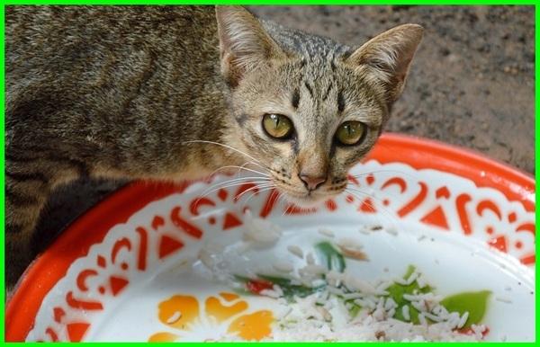 kucing makan nasi mencret, bolehkah kucing makan ikan dan nasi kucing makan nasi gemuk, kucing makan beras merah campur ikan, kucing anggora boleh makan nasi, apakah akibat kucing makan nasi, bisakah tiap hari kucing diberi makan nasi, kucing persia boleh makan nasi, cara melatih kucing makan nasi dicampur ikan dengan ikan pindang, dampak efek samping kucing makan nasi, gambar kucing makan nasi, kucing kampung makan nasi