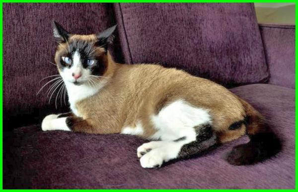 kucing siam asli, kucing siam klasik, kucing siamese adalah, kucing siamese asli, kucing siamese bagus, kucing siam free, foto kucing siam, foto2 kucing siam, kucing siam tradisional, tipe kucing siam