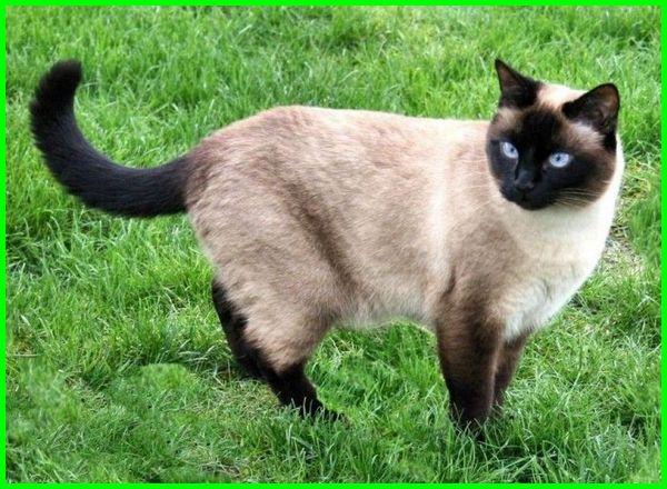 Kucing Siam Asal Usul Sejarah Dan Karakteristik Dunia Fauna Hewan Binatang Tumbuhan
