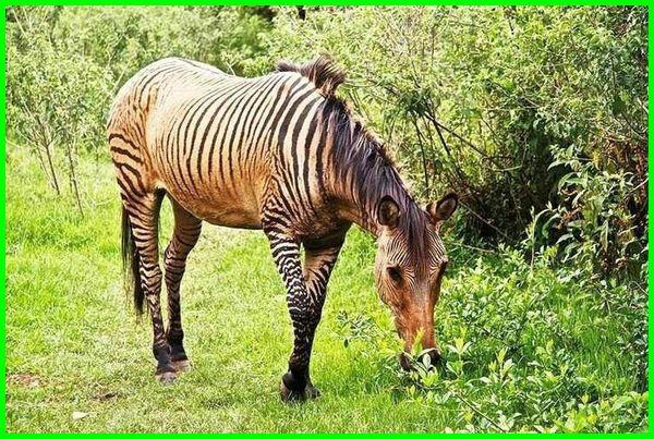 hewan dengan huruf awal z, nama hewan huruf a sampai z, binatang dengan huruf z, nama hewan dengan huruf z, nama hewan awalan huruf z, nama hewan awal huruf z, hewan yang huruf pertamanya z, hewan apa yang huruf pertamanya z, binatang huruf z selain zebra