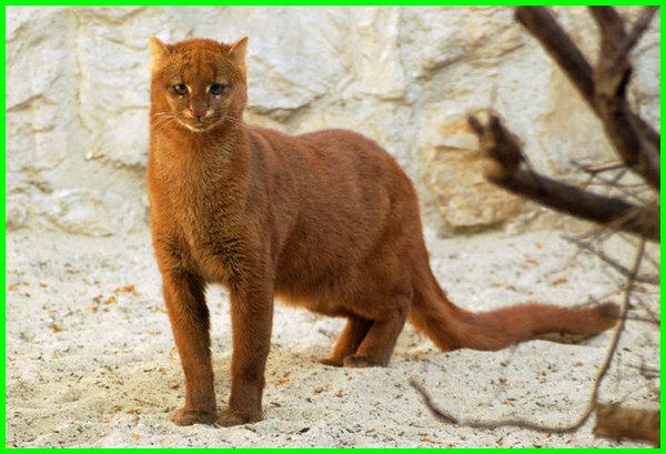 hewan dari huruf j, nama hewan huruf depan j, binatang dengan huruf j, nama hewan depannya huruf j, hewan yang huruf pertama j, hewan apa yang huruf pertamanya j, Jaguarundi