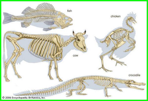 apa saja organ pada hewan, apa saja organ gerak hewan yang kamu ketahui, apa fungsi organ gerak hewan, ada berapa organel sel hewan, nama organ hewan dan fungsinya, nama organ hewan beserta fungsinya, nama hewan dan organ peredaran darah, nama organ gerak pada hewan dan fungsinya, nama organ gerak pada hewan, Skeletal (Support) System