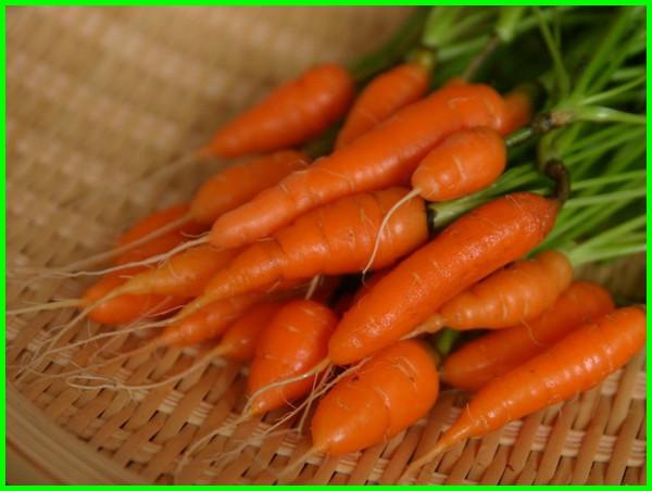 tanaman sayuran baby carrot