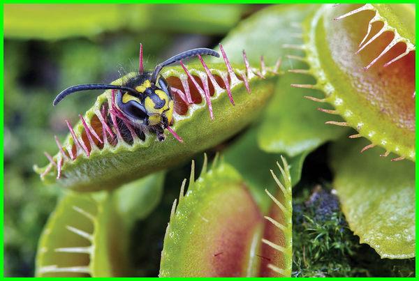 tanaman pemangsa serangga, tanaman penangkap serangga, tanaman penarik serangga, tanaman perangkap serangga, 3 tanaman pemakan serangga, tumbuhan yang termasuk pemakan serangga adalah, tumbuhan pemakan serangga adalah, tumbuhan memakan serangga bertujuan untuk, tumbuhan pemakan serangga yang hidup di rawa, tumbuhan pemakan serangga lainnya, tumbuhan pemakan serangga namanya
