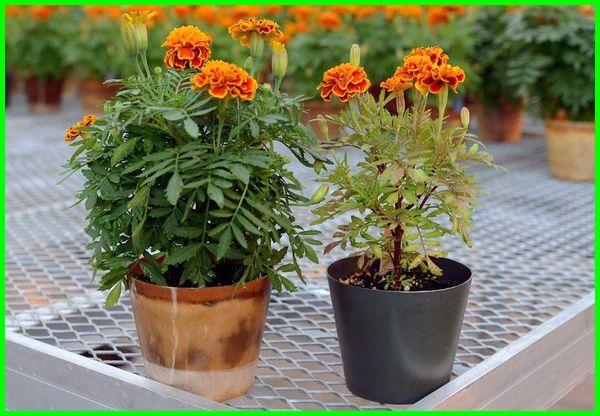 tanaman bunga dalam pot kecil, tanaman bunga di pot kecil, tanaman bunga untuk pot kecil, tanaman bunga yang bisa ditanam di pot kecil, bunga yang bisa ditanam di pot kecil, tanaman bunga yang bisa ditanam di pot, bunga untuk pot kecil, bunga yang cocok untuk pot kecil