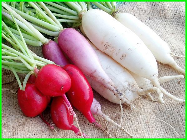 tanaman sayuran lobak