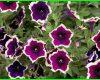 bunga petunia ungu, gambar bunga petunia ungu, tanaman petunia ungu